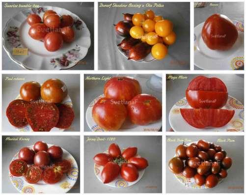 Семена томатов 300 сортов от коллекционера в Пятигорске Фото 1