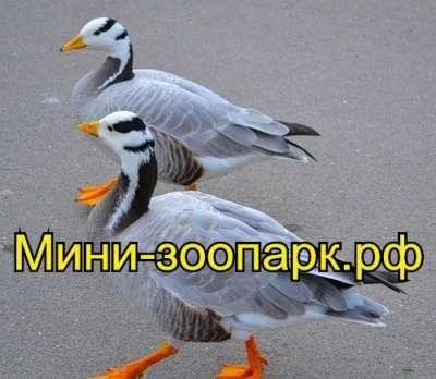 Гуси в Москве Фото 1