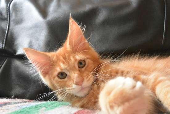 Яркие, рыжие, настоящие котята мейн кун