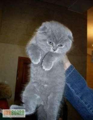 Шотландские котятки в Подольске Фото 3