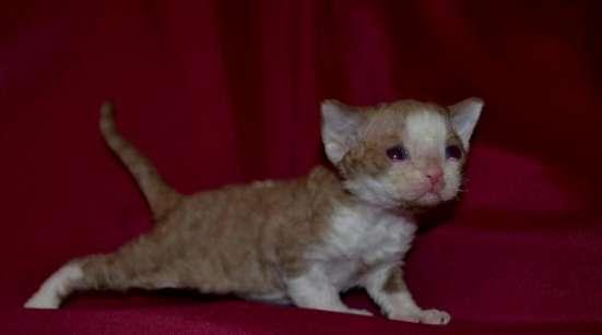Девон рекс котята в Челябинске Фото 3