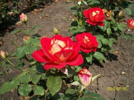 Кусты роз в ассортименте