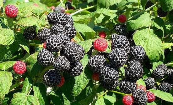 Саженцы винограда ранних сортов, фундука, чёрной малины и др