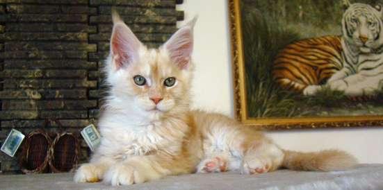 Продам кошечку породы мейн кун - Ксена в Томилино Фото 1