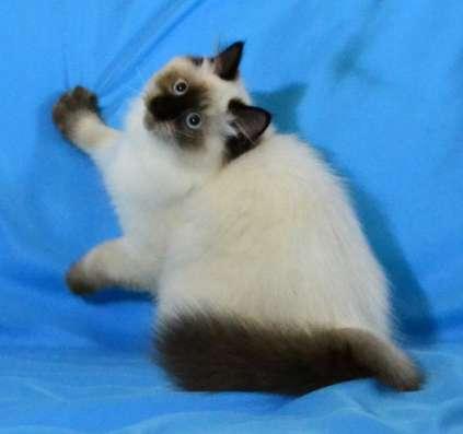 Шикарный Невский маскарадный котик в г. Киев Фото 3