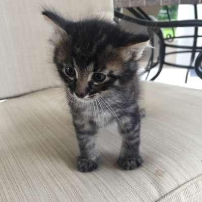 Котёнок для души Москва! Московская область! Маленький пушис