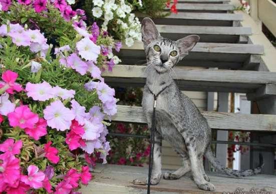 Ориентальные котята, белого, черного и пятнистого окраса в г. Самара Фото 4