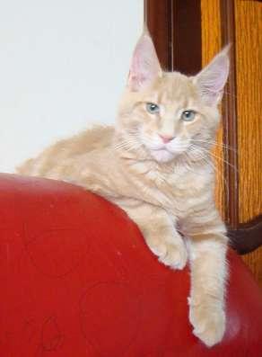 Котята мейн кун в продаже мэйн кун в Томилино Фото 3