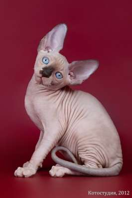 Поднимет Ваше настроение котёнок сфинкс! в Нижнем Новгороде Фото 2