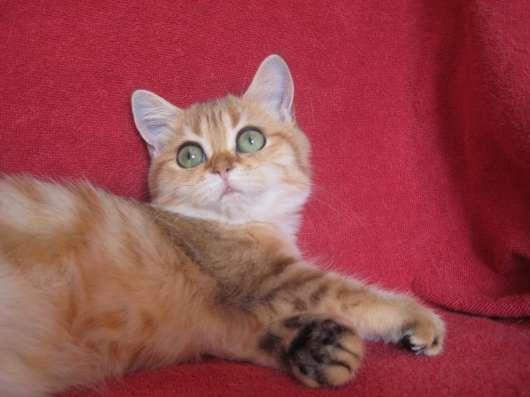 Золотая мраморная кошечка Vanile из питомника